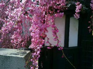 石橋屋さんの枝垂れ桜その2