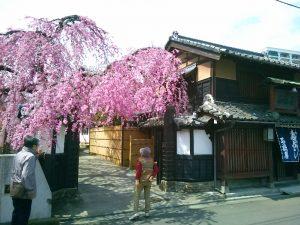 石橋屋さんの枝垂れ桜その1